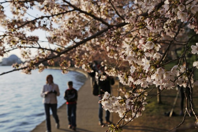 361520-people-walk-under-cherry-blossoms-along-the-tidal-basin-in-washington-[1]